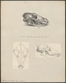 Lupus orientalis - 1700-1880 - Print - Iconographia Zoologica - Special Collections University of Amsterdam - UBA01 IZ22200357.tif