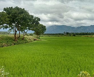 Pollachi - Paddy fields in Pollachi
