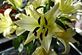 Lys à longue fleur (Lilium longiflorum) flou.jpg