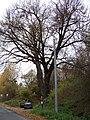Mšeno, Romanovská, památný strom.jpg