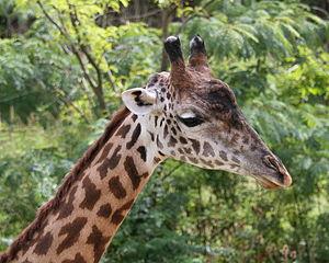 Masai giraffe - Image: Maasai Giraffe 07