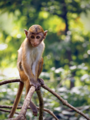 Macaca sinica or Toque Macaque is endemic to Sri Lanka, photographed in Anuradhapura.png