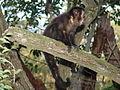 Macaco prego Manduri 060811 REFON 11.JPG