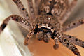 Macro image of huntsman spider front-on.jpg