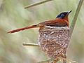 Madagascar Paradise Flycatcher RWD.jpg