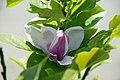 Magnolia x soulangiana Alexandrina 0zz.jpg