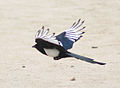 Magpie in Madrid (Spain) 51.jpg