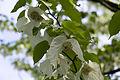 Mainau - Arboretum - Taschentuchbaum 001.jpg