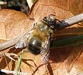 Male Hairy-footed Flower Bee.Anthropora plumipes - Flickr - gailhampshire.jpg