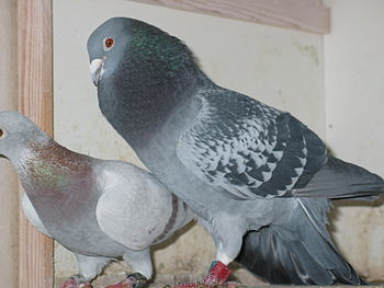 Male homing pigeon, (showing of ;-)