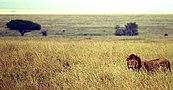 Male lion on savanna.jpg