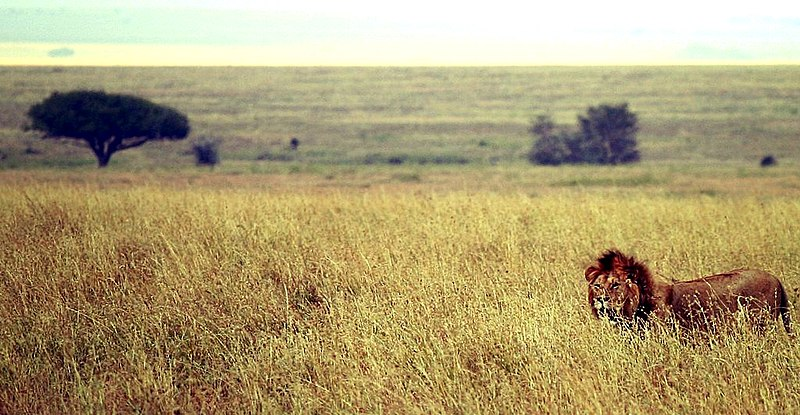 Archivo:Male lion on savanna.jpg