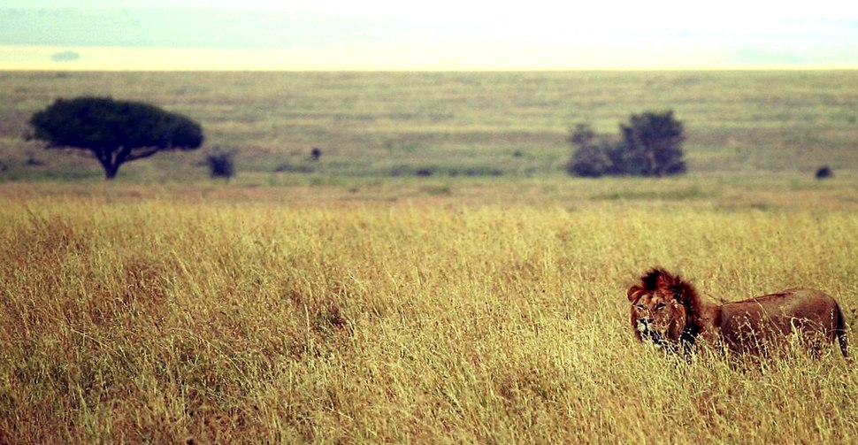 Male lion on savanna