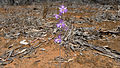 Mallee Fringe Lily (15857319340).jpg