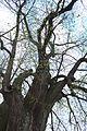 Malonice, památný strom II.jpg