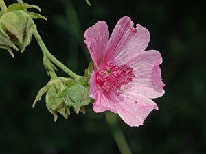 Althaea cannabina - Close-up on a flower of Althaea cannabina