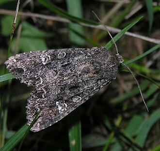 Cabbage moth - Image: Mamestra brassicae