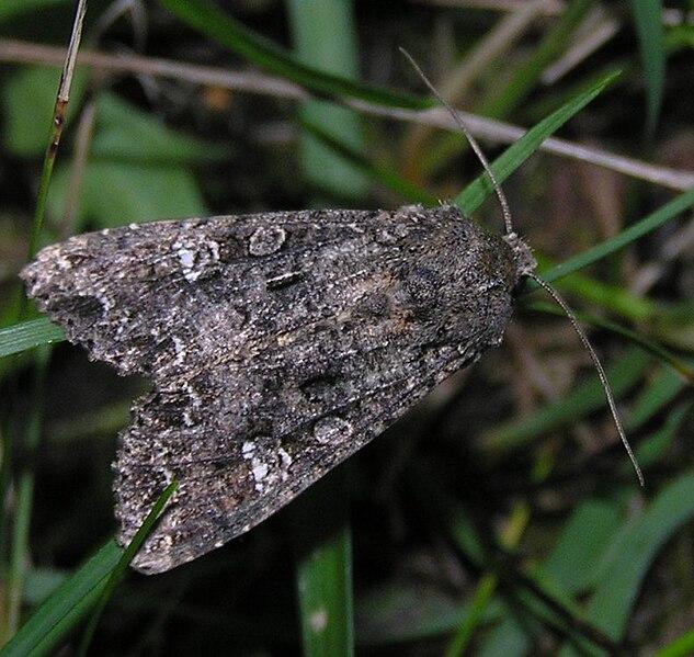 File:Mamestra brassicae.jpg
