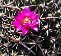 Mammillariacasoi.jpg