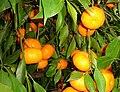 Mandarini.jpg