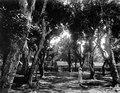 Mangoträden framför vårt hus. T.K. i trädgården. Fenerive. Madagaskar - SMVK - 021928.tif