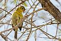 Mangrove Warbler - Canario de Mangle (Setophaga petechia) (16263419141) (2).jpg