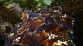 Maori Octopus-Octopus maorum (8379552300).jpg