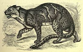 Marbled tiger-cat (f. mamorata).JPG