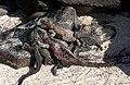 Marine iguanas, moulting (6064540810).jpg