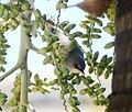 Mauritius Grey White-eye. Zosterops mauritianus - Flickr - gailhampshire (5).jpg