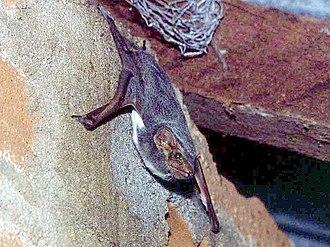Mauritian tomb bat - a Mauritian tomb bat (Taphozous mauritianus) on a building by Lake Manyara, Serengeti