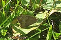 Meadow brown (31980746464).jpg