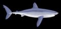 Megalolamna paradoxodon.png