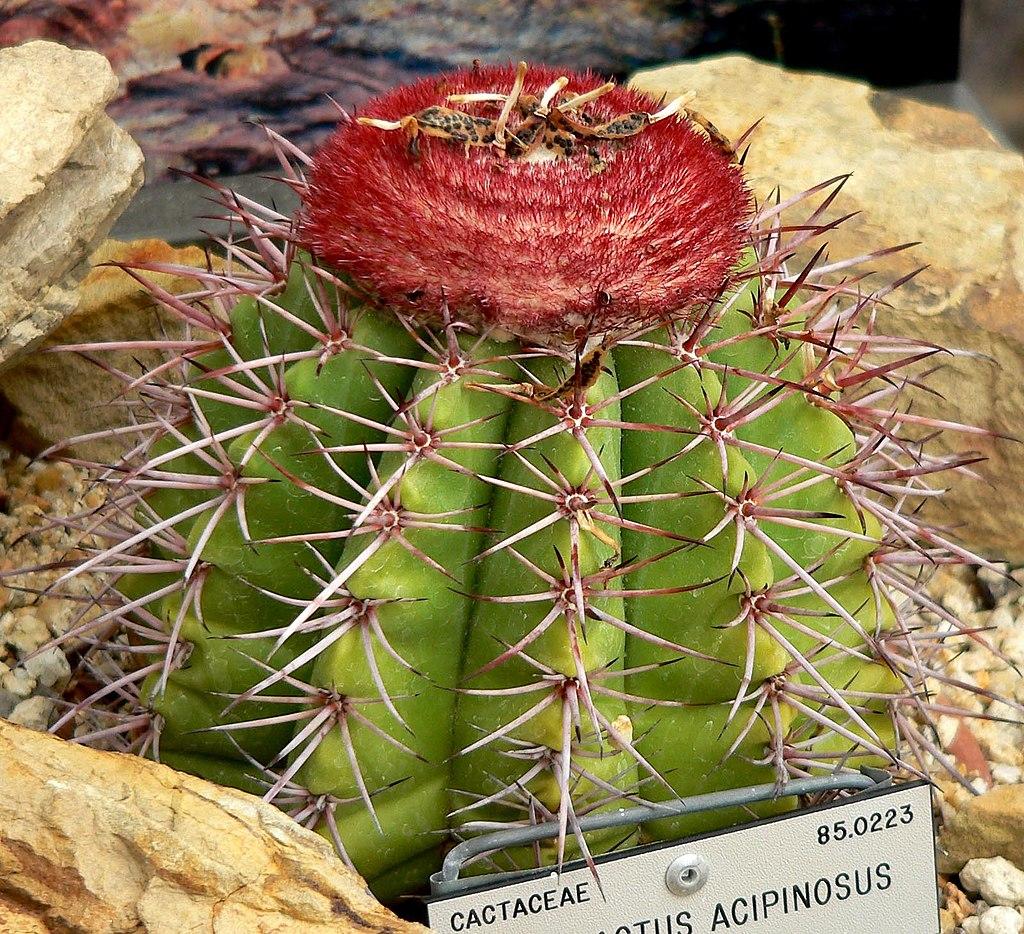 Melocactus acipinosus 1.jpg
