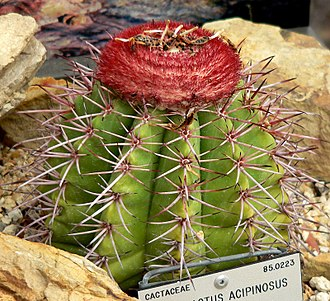Flag of the Turks and Caicos Islands - Example of a Melocactus, which gives the islands half their name and appears in the coat of arms
