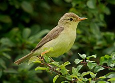 Melodious warbler (Hippolais polyglotta), Le Petit Loc'h, Guidel, Brittany, France (19972894766) (cropped).jpg