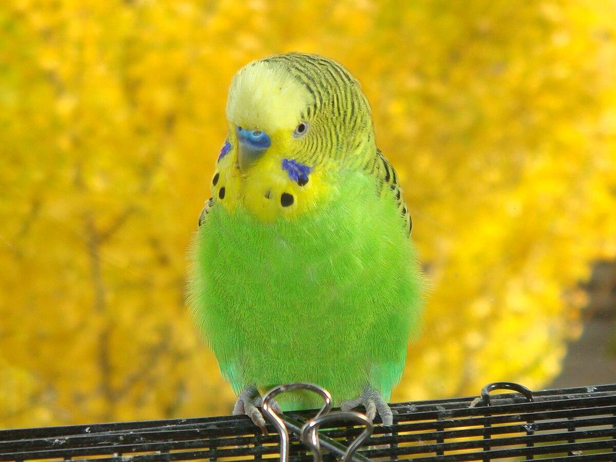 چرا صدای بیشتر پرندگان نازک است