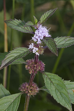 Mentha canadensis - Image: Mentha canadensis