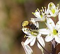 Merodon species, hoverfly (32241103044).jpg