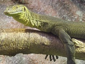 Mertens' water monitor 02.jpg