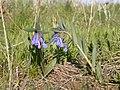 Mertensia oblongifolia habit (3434284153).jpg