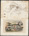 Mesoprion johnii - - Print - Iconographia Zoologica - Special Collections University of Amsterdam - UBA01 IZ12900311.tif