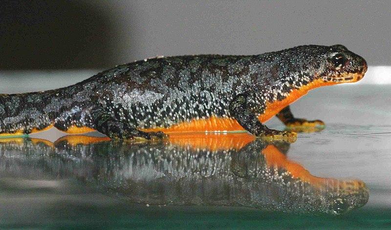 Ichthyosaura alpestris