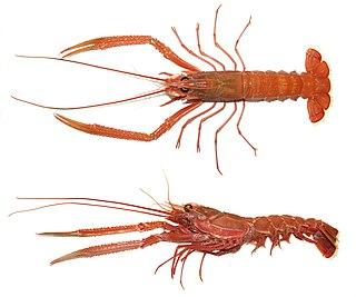 <i>Metanephrops</i> genus of crustaceans