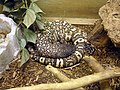 Mexican beaded lizard at Las Vegas Zoo.JPG