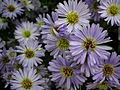 Michaelmas daisy or Aster amellus from Lalbagh Flowershow - August 2012 4722.JPG