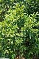 Michelia figo 12zz.jpg