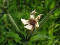 Microbotryum lychnidis-dioicae Silene latifolia JuliaKruse 4.jpg
