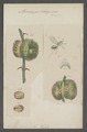 Misocampe - Print - Iconographia Zoologica - Special Collections University of Amsterdam - UBAINV0274 047 03 0053.tif