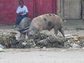 Missione del Guaricano-maiale che rovista nella spazzatura.jpg